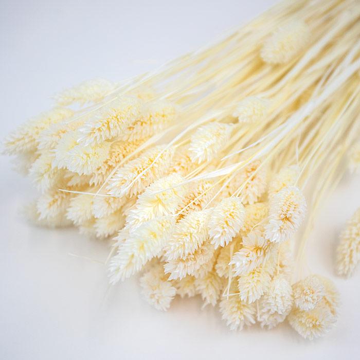 Bleached White Phalaris