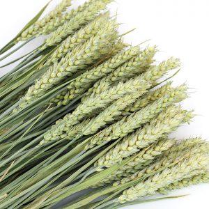 Wholesale Dried Wheat for Flower Arrangements