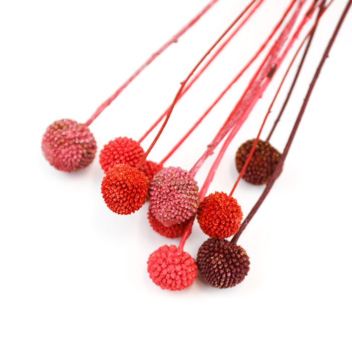 Mixed Red Craspedia Bunch (Pack of 10) (dyed)