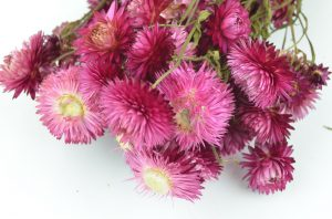 Rich pink Helichrysum Dried Flowers