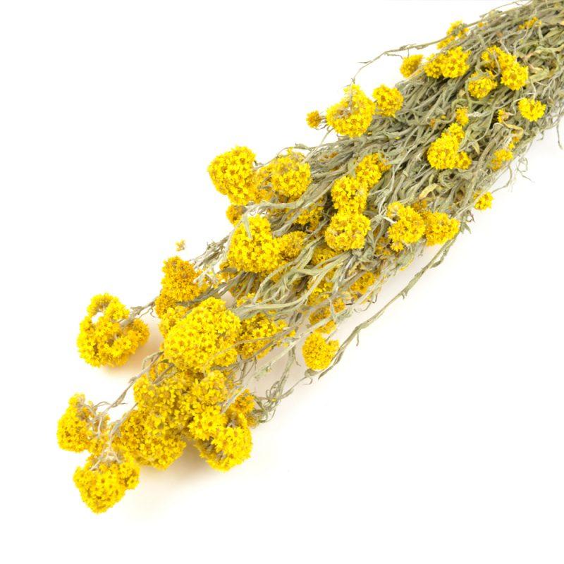 Yellow Sanfordii Bunch