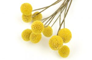 Yellow Craspedia - Also known as Billy Buttons