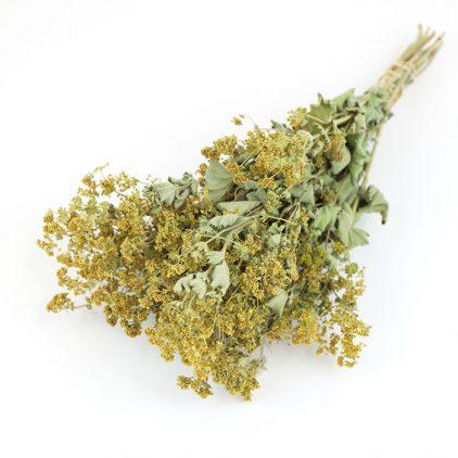Wholesale Dried Flower Alchemilla Mollis Bunch